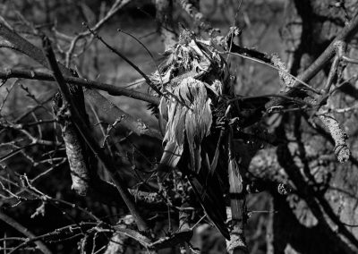 A black and white close-up image of a decaying bird placed in the branches of a tree along the river.