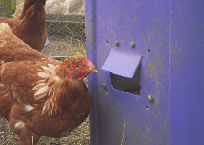 A chicken stands next to a blue bin full of chicken feed.